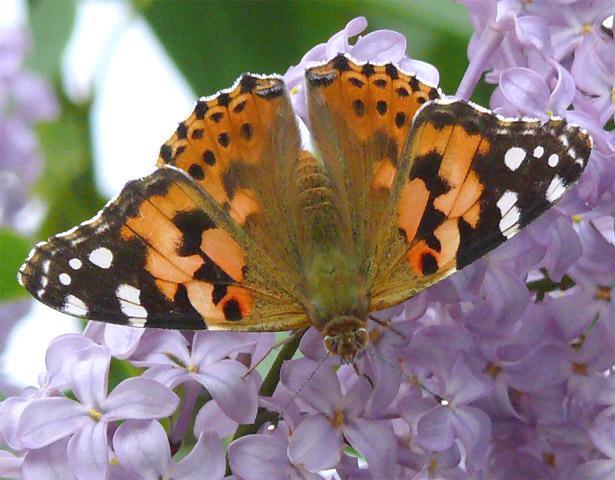 papillon belle dame vanessa cardui